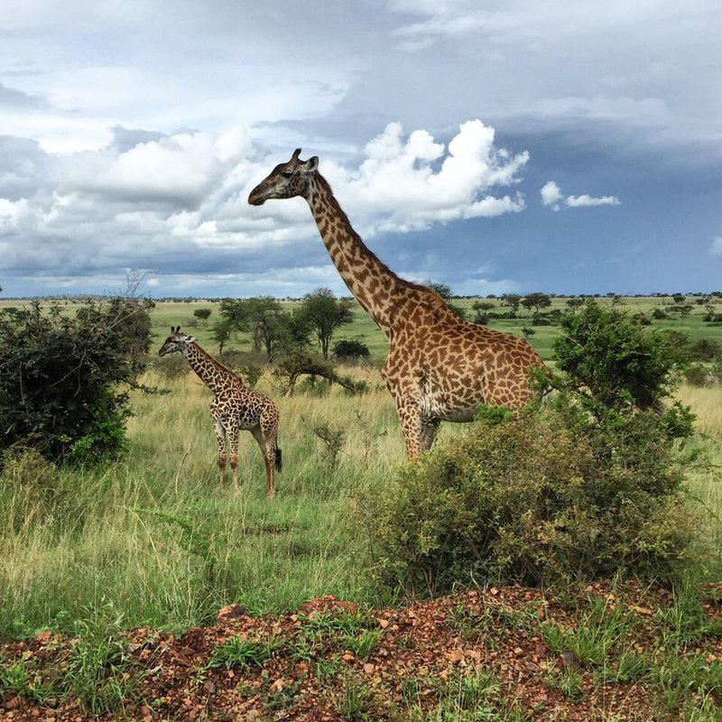 Pair of giraffes, Grumeti, Tanzania.