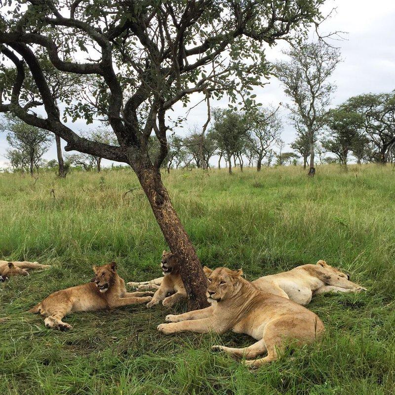 Pride of lions, Grumeti, Tanzania.