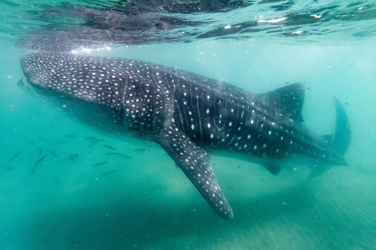 Whale shark in La Paz.