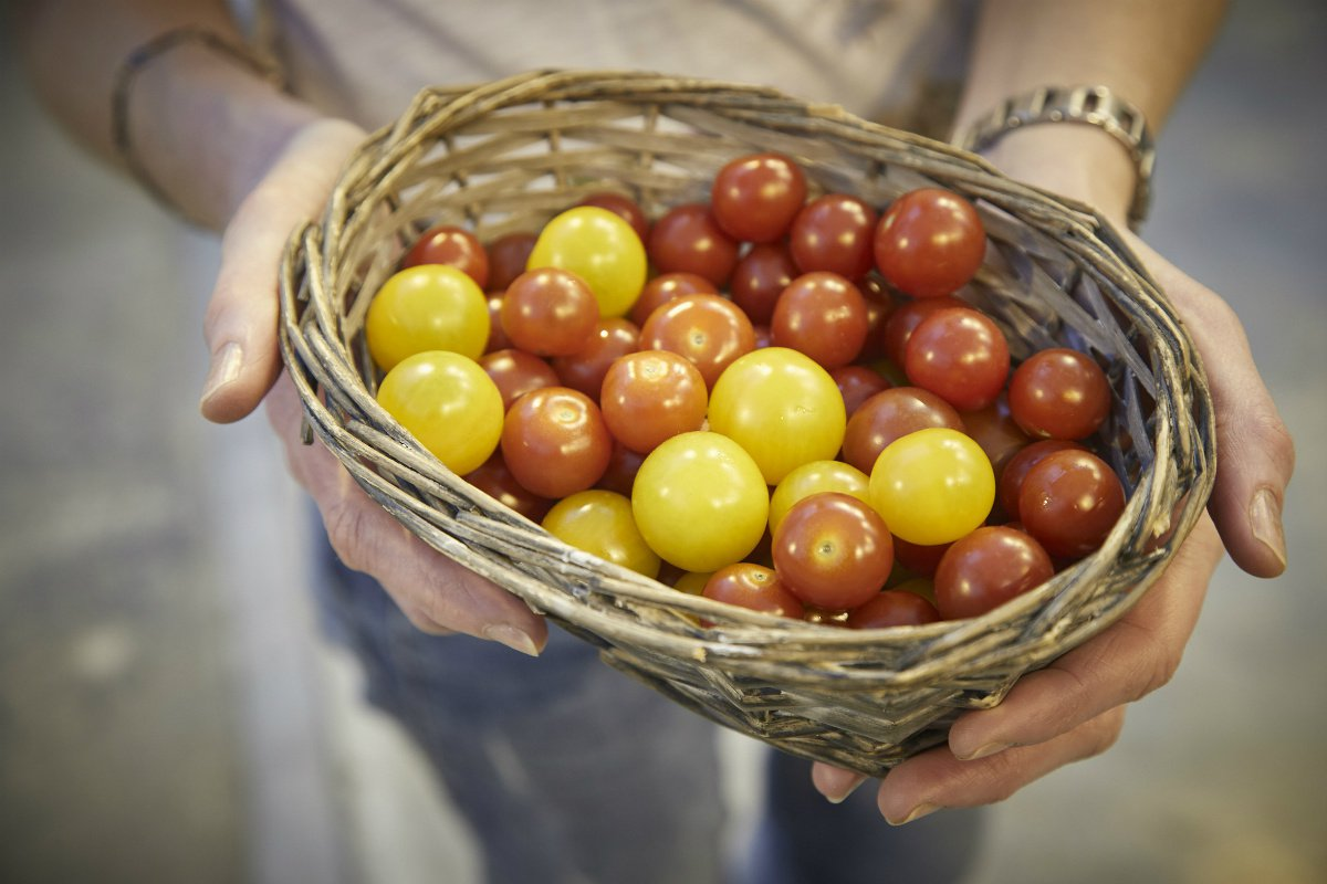 Helena Hermundardottir tomatos
