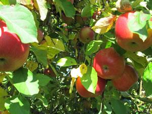 2012_10_apples