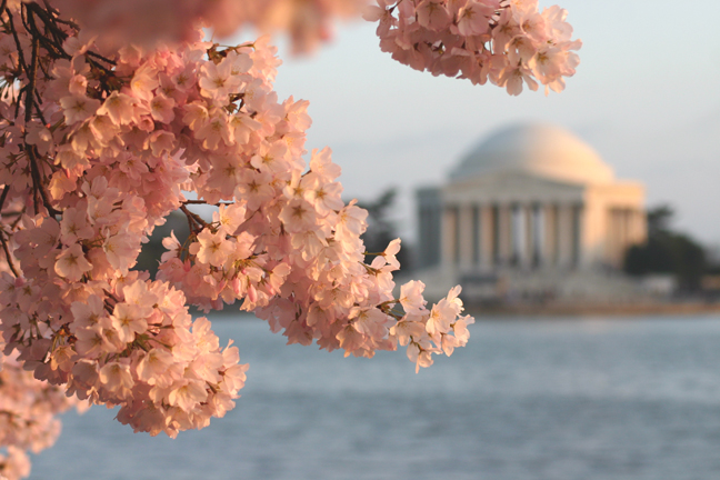 2013_03_cherry-blossoms-at-jefferson
