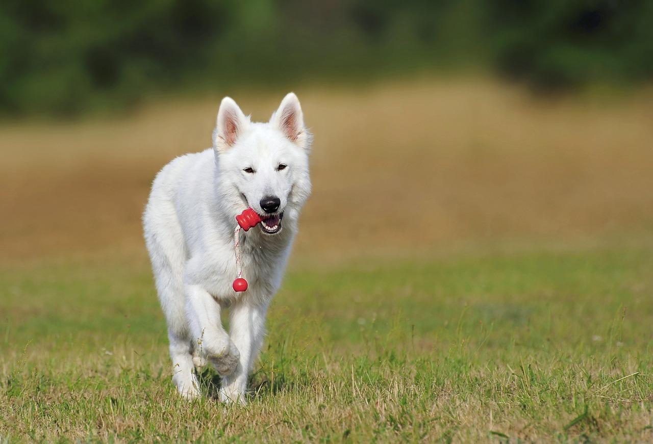 Swiss shepherd dog 354526 1280