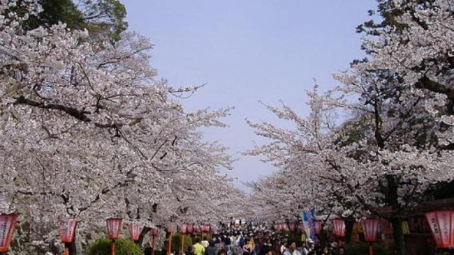 Tsuyama_Cherry_Blossom_Festival