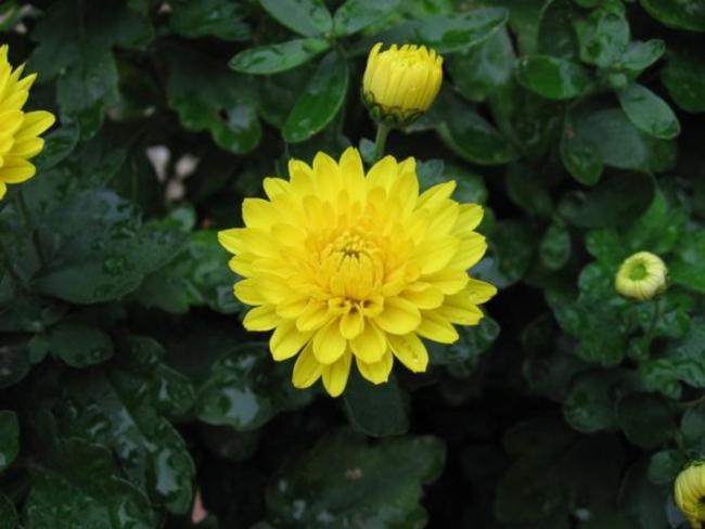 Chrysanthemum_x_grandiflorum_03
