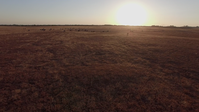 Cows are grazing in a golden field at sunset thumbnail