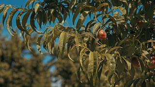 Fruit hanging from a tree slowly blows in the wind thumbnail