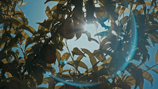 Sun rays shine through the leaves of a fruit tree thumbnail