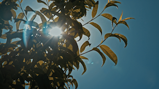 Sun rays peak through the leaves of a fruit tree thumbnail