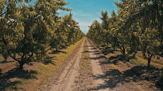 A row of fruit trees are gently blowing in the wind thumbnail