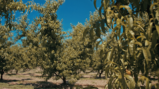 Rows of fruit trees in an orchard during the day thumbnail