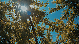 Sunlight shines through the leaves a fruit trees in an orchard thumbnail