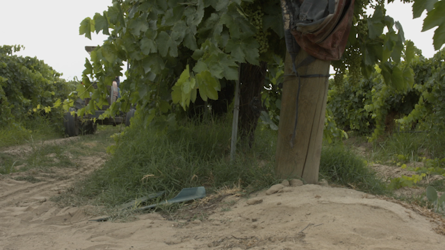 A man drives a tractor through a vineyard thumbnail