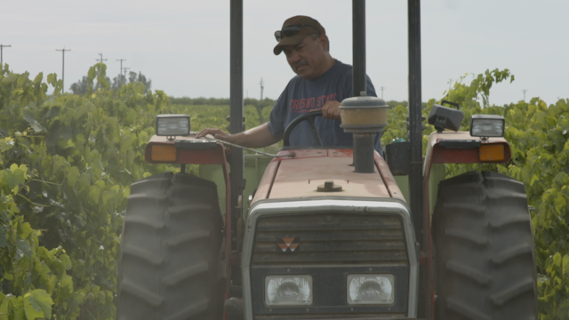 A man is driving his tractor through a vineyard thumbnail