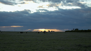 A large field with cows at sunset thumbnail