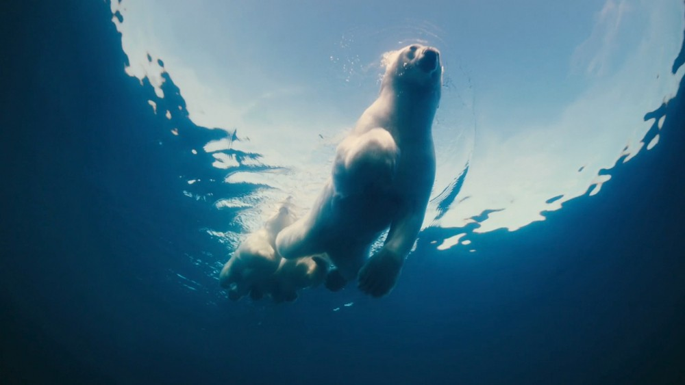 polar-bear-swimming-jpg