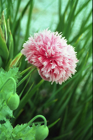 007-pink_poppy-july-2005-04-jpg