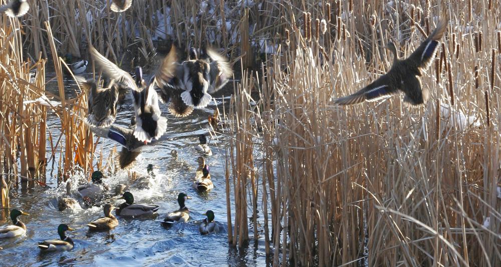 ducks-mg_9288-jpg