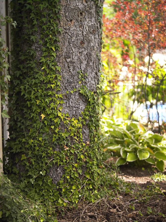 ivy-on-tree-10-004-021-jpg