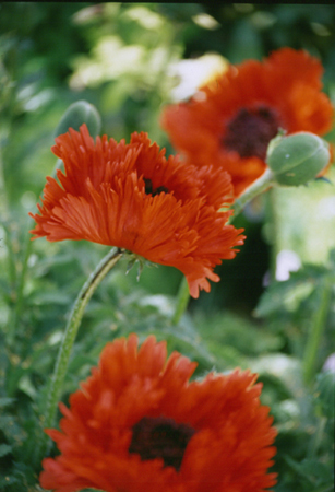 008-red_poppys-12-jpg