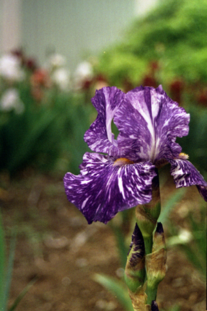 011-purple_white_iris-2005-07-jpg