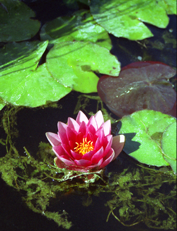 015-water_lilly-july-2005-03-jpg