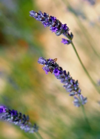 0153_23_lavender-jpg