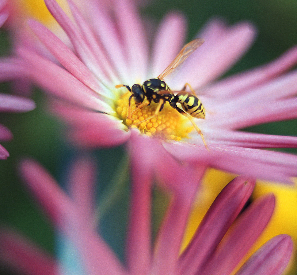 daisy-yellow-jacket-jpg