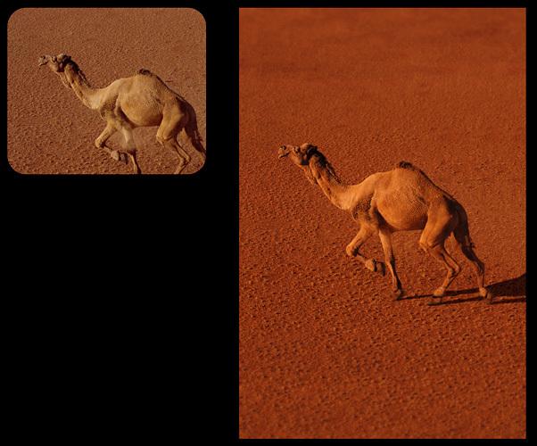 0135_camel-jpg
