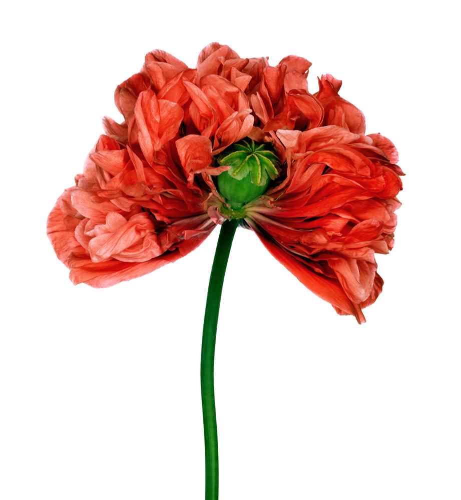 poppy-jpg