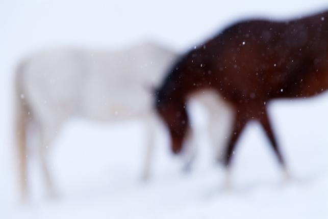 0025-786two_horses-jpg