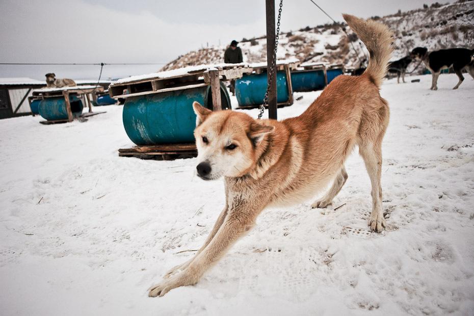 snowdogs_06-jpg