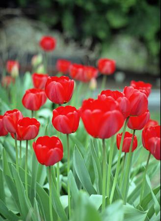 002-red_tulips-01-jpg