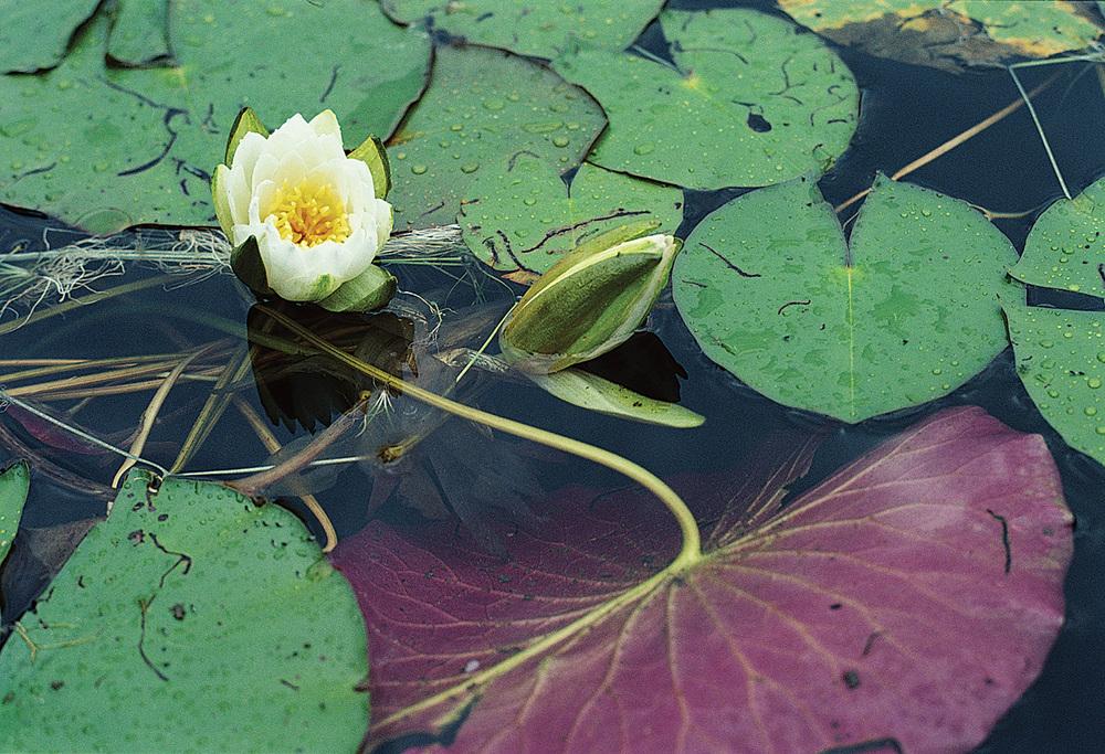 pond-lily-jpg
