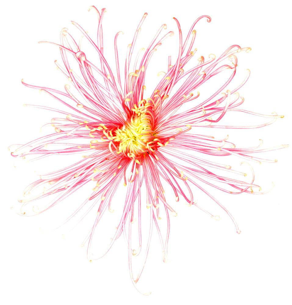 spider-flower-jpg