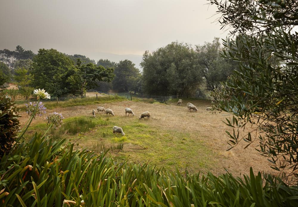 portugal-sheep-jpg