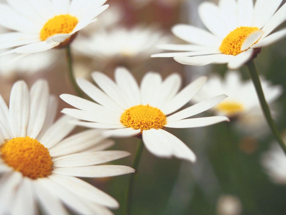 daises-jpg