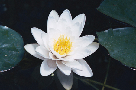 016-white-waterlilly-20-jpg