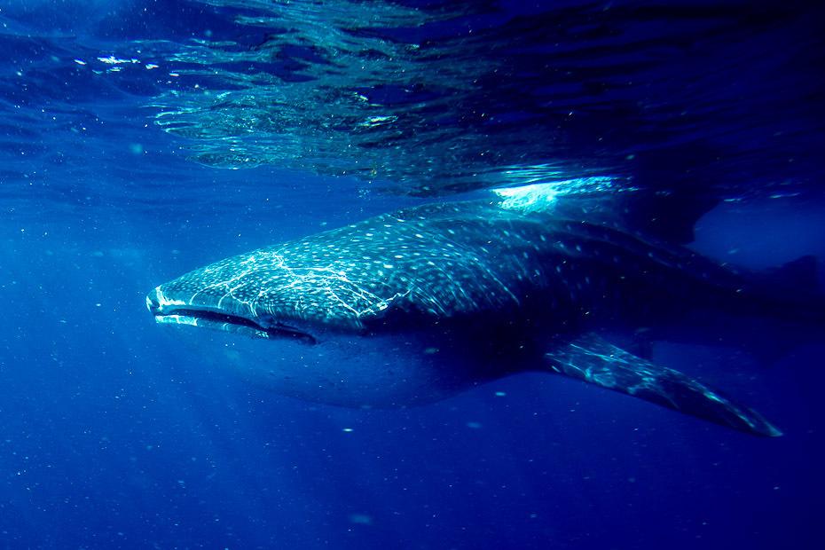 whalesharks_00298-jpg