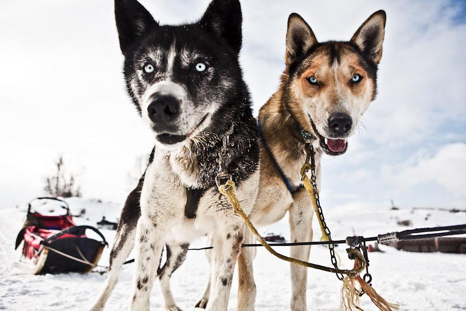 snowdogs_11-jpg