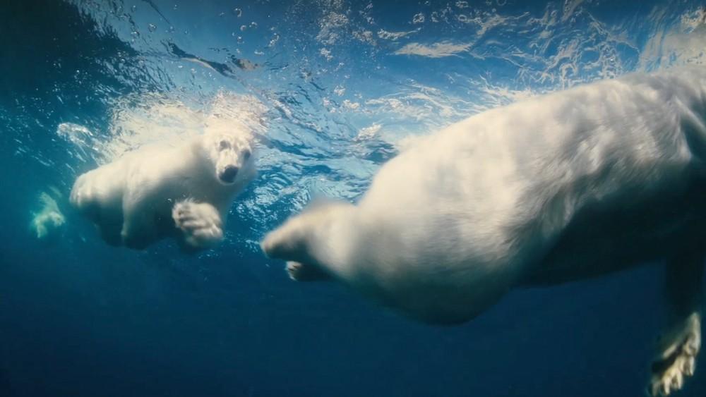 polar-bear-swimming-copie-2-jpg