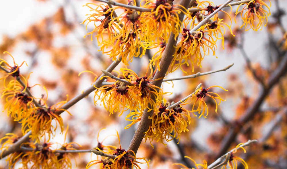 A close up of witch hazel
