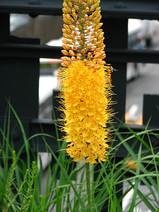 The foxtail lily's flower stalk is composed of hundreds of little bell-shaped blooms. Photo by Friends of the High Line