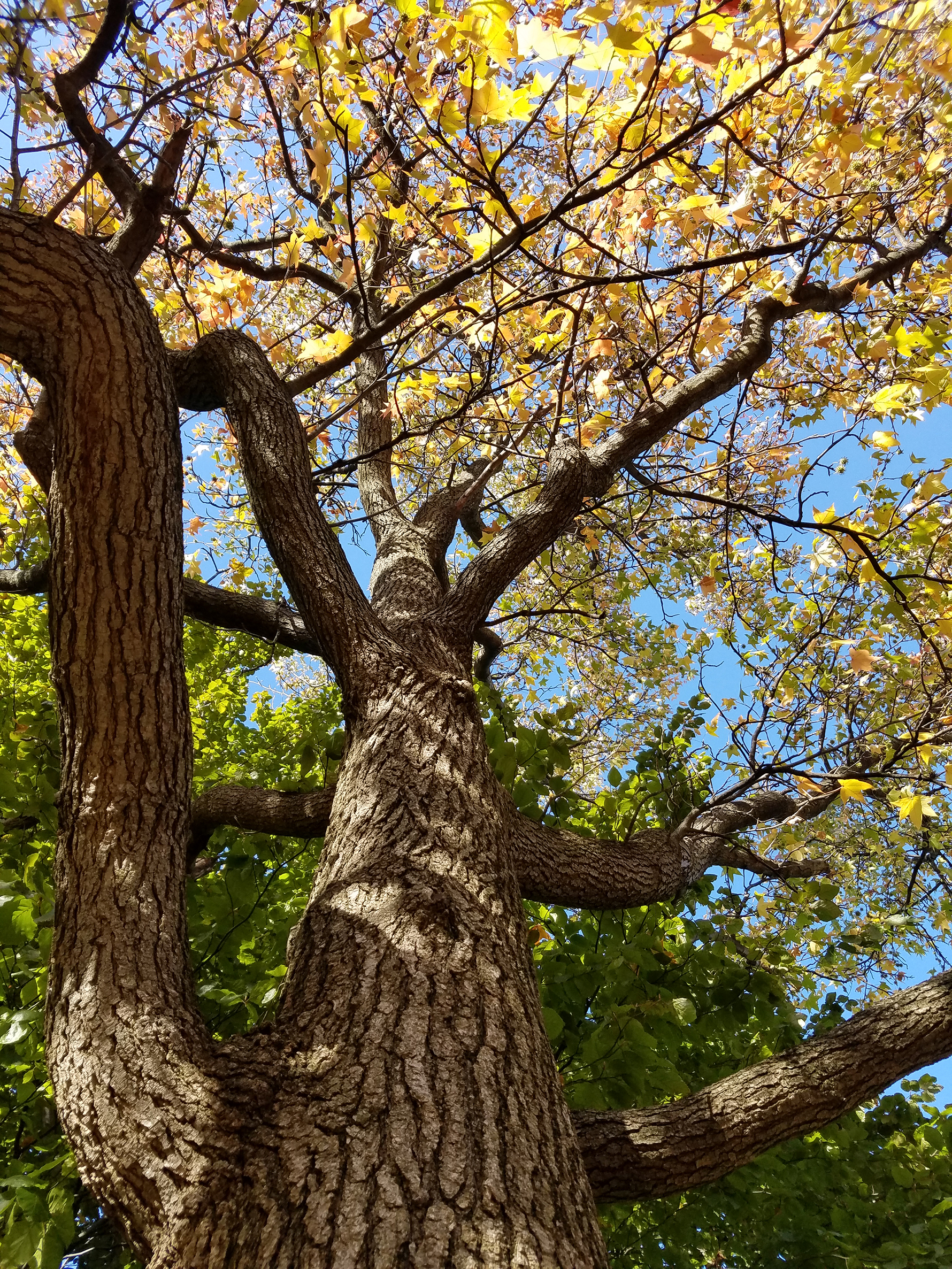 Looking up at the sweetgum treet with yellow leaves