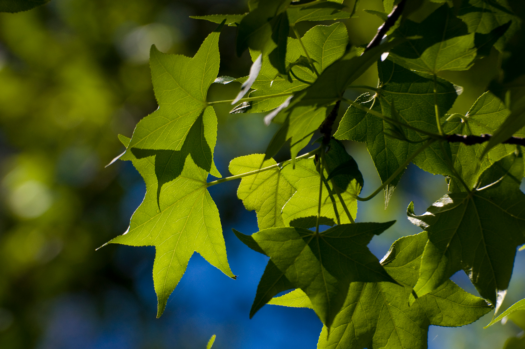 A closeup of the sweetgum's green glossy leaves