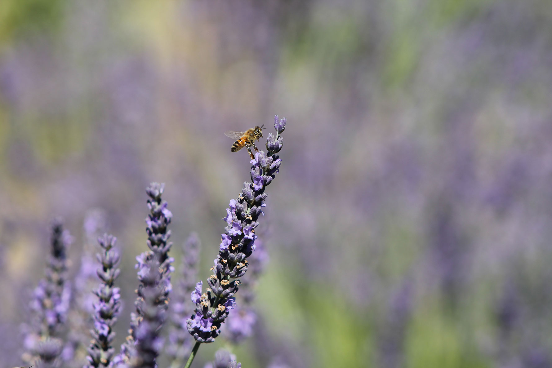 A bee atop purple lavender