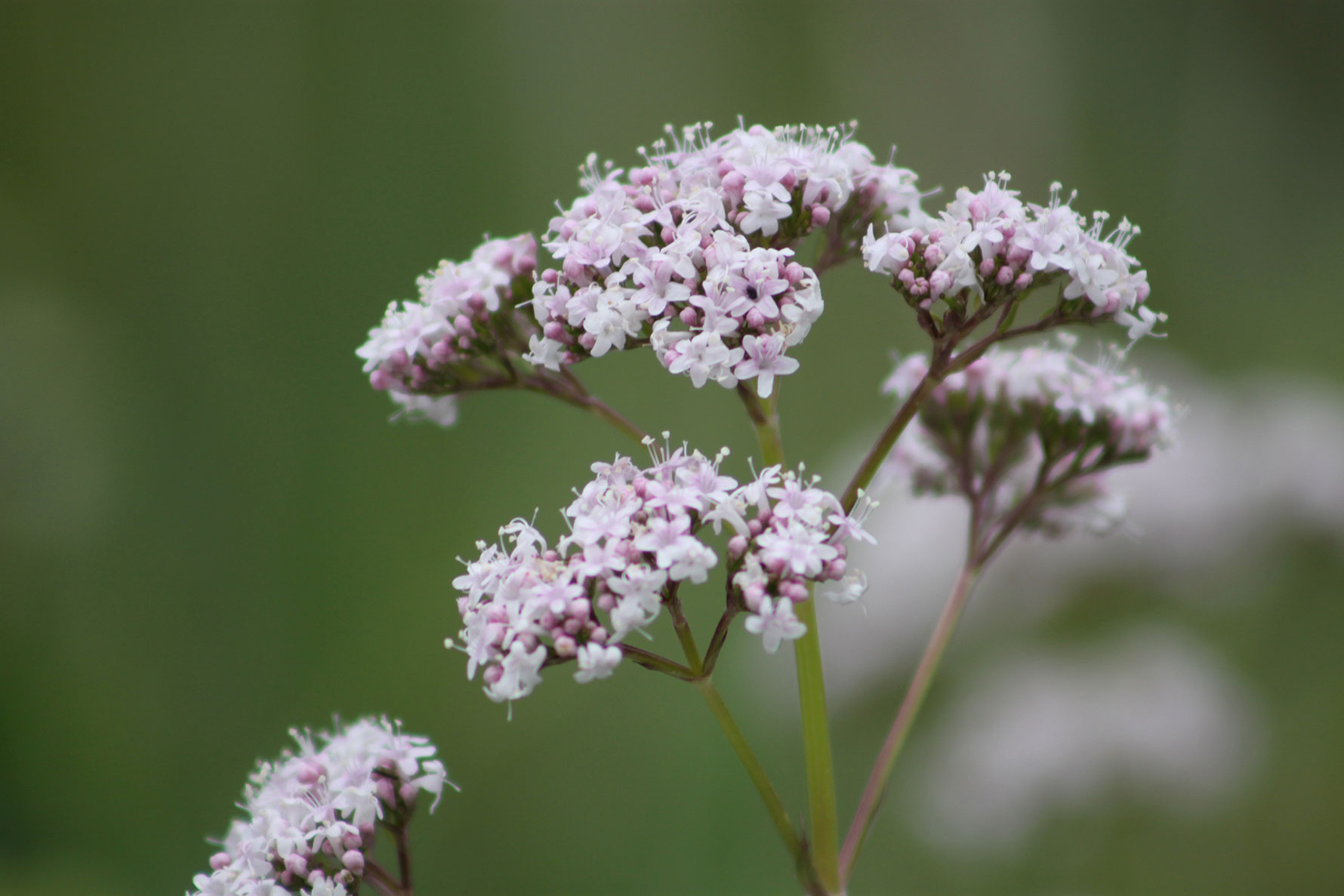 A close-up of light pink valerian flowers