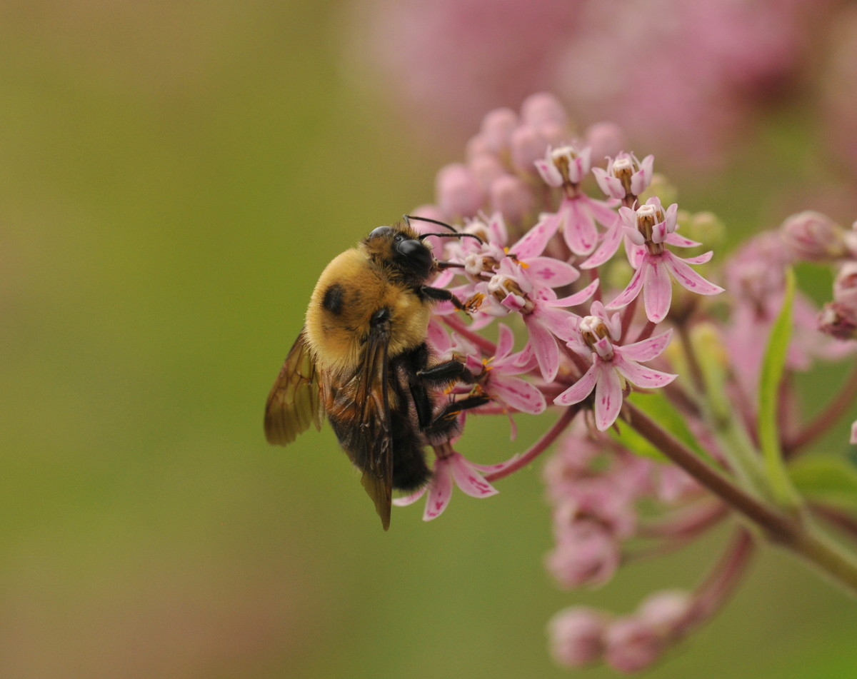A bumblebee pollinatring a pink plant