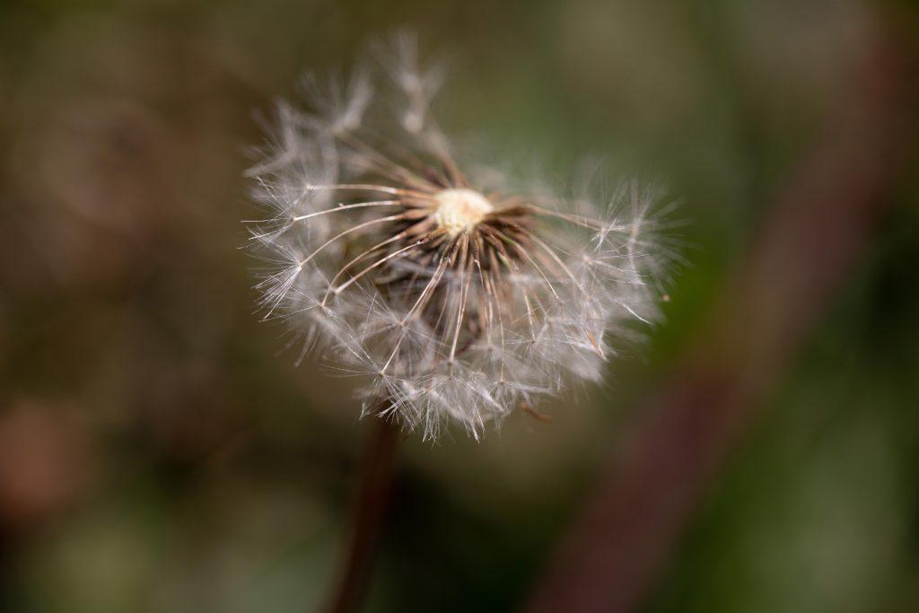 A dead dandelion head