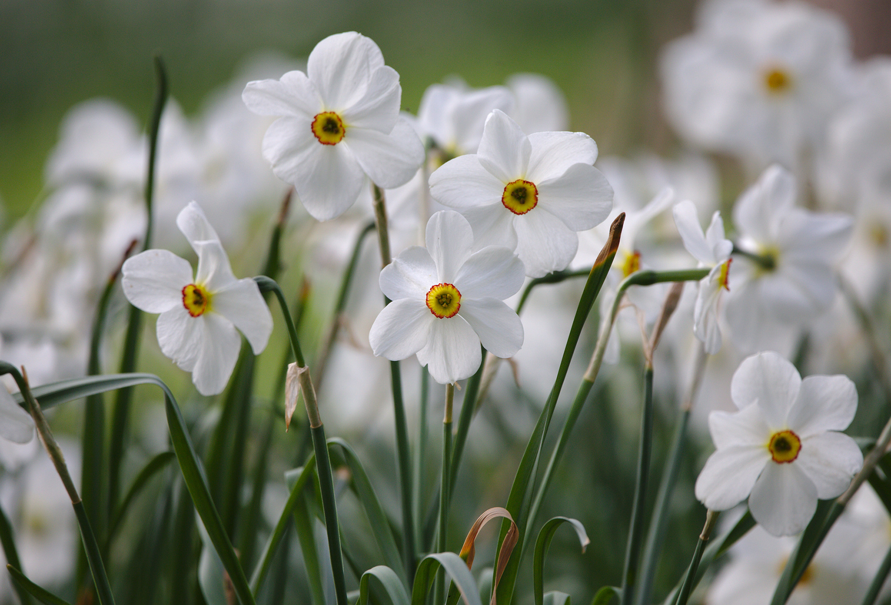 A bunch of white daffodils